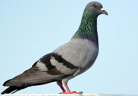 Rock_pigeon_2